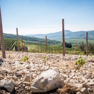 massimago vineyards photographed from the ground